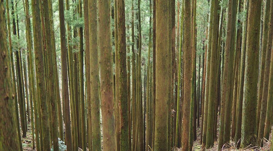 好きな木材について語る(杉編)